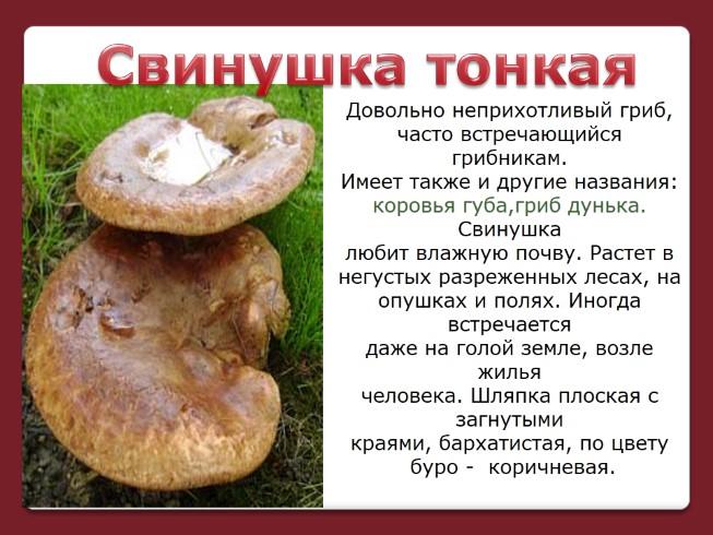 коровья губа гриб фото