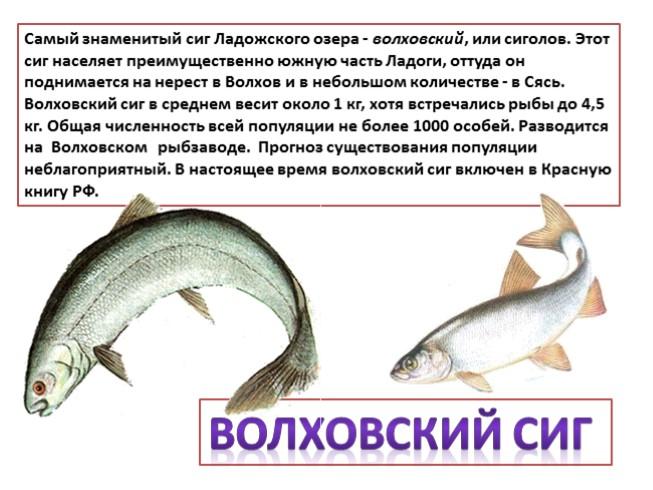 ловля сига в иркутской области