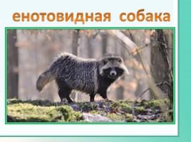 Животные Ленинградской области, слайд 12