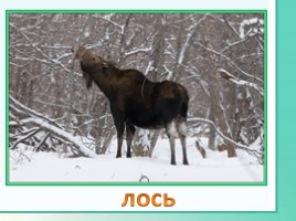 Животные Ленинградской области, слайд 17