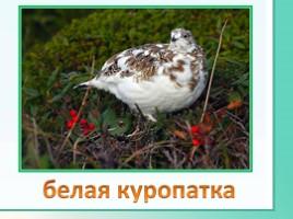 Животные Ленинградской области, слайд 20