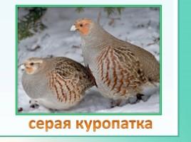 Животные Ленинградской области, слайд 21