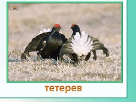 Животные Ленинградской области, слайд 22