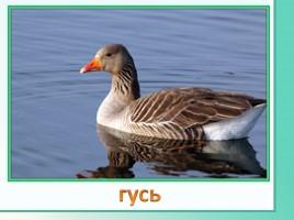 Животные Ленинградской области, слайд 24