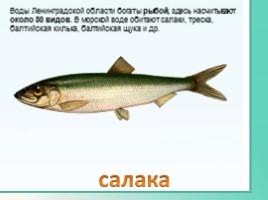 Животные Ленинградской области, слайд 30