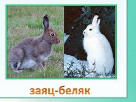 Животные Ленинградской области, слайд 5