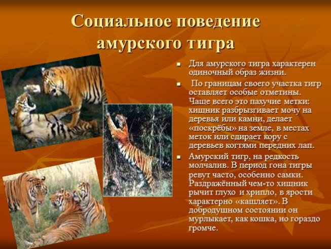 описание характера деревянного тигра застрял окне, сколько