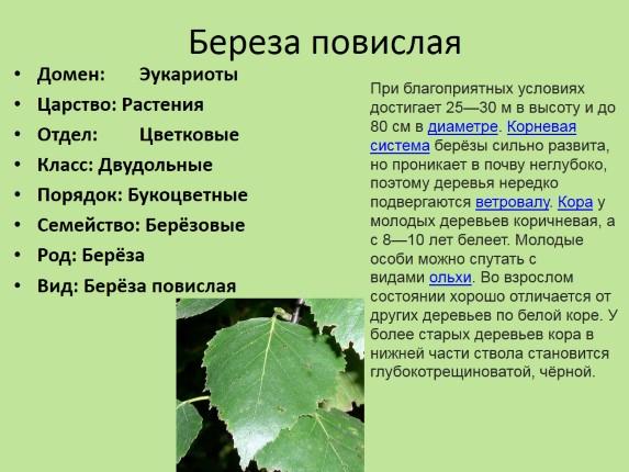 К однодольным растениям относятся 1 капуста 2 кукуруза 3