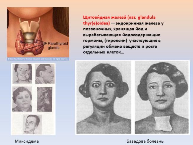 щитовидная железа в разрезе что