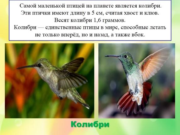 Колибри птица Самая маленькая птичка в мире описание