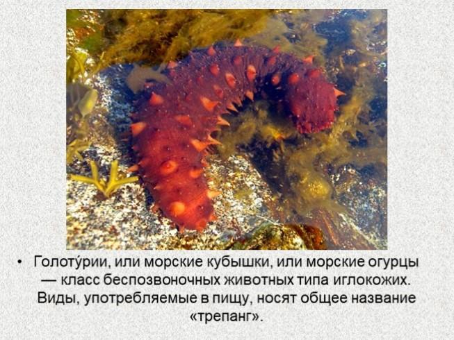 морские огурцы презентация