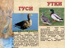 Птицы Рязанской области, слайд 10