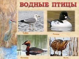 Птицы Рязанской области, слайд 11
