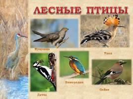 Птицы Рязанской области, слайд 12