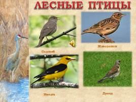 Птицы Рязанской области, слайд 13