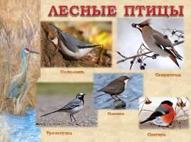 Птицы Рязанской области, слайд 14