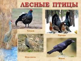 Птицы Рязанской области, слайд 15