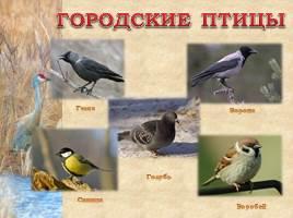 Птицы Рязанской области, слайд 16