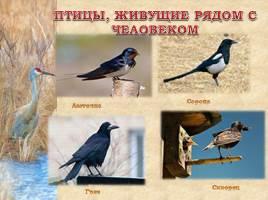 Птицы Рязанской области, слайд 17