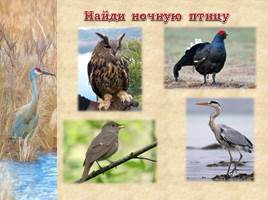Птицы Рязанской области, слайд 18