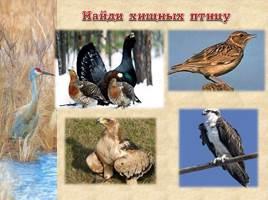 Птицы Рязанской области, слайд 19