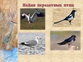 Птицы Рязанской области, слайд 20