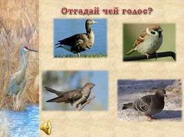 Птицы Рязанской области, слайд 21