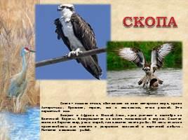 Птицы Рязанской области, слайд 3