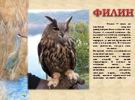 Птицы Рязанской области, слайд 4