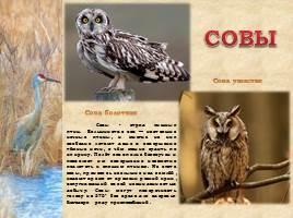 Птицы Рязанской области, слайд 5