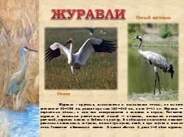 Птицы Рязанской области, слайд 6