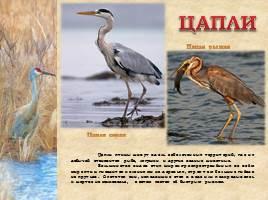 Птицы Рязанской области, слайд 7