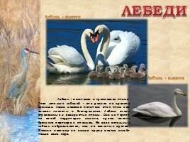 Птицы Рязанской области, слайд 9