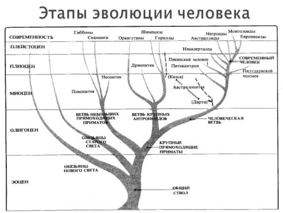 Эволюция развития человека таблица