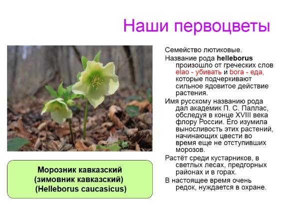 Морозник кавказский выращивание и уход в