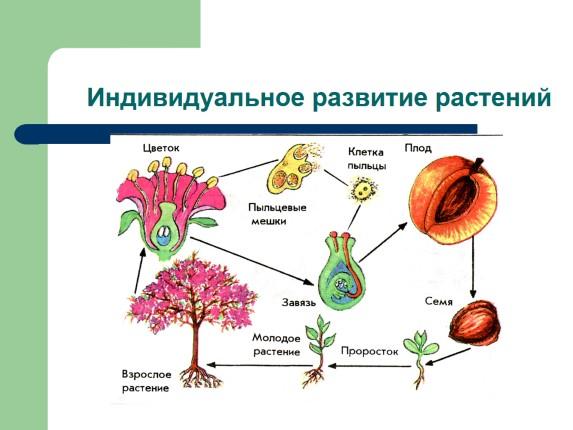 схема развития растений и животных